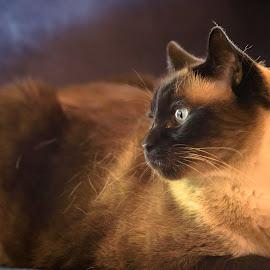 Looking Inward by Ronnie Sue Ambrosino - Animals - Cats Portraits ( cat, himalayan, furry, feline, portrait, eyes )