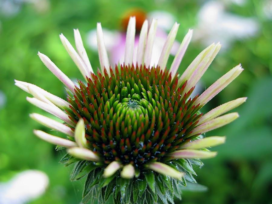 Flower Burst by JoAnn Palmer - Nature Up Close Flowers - 2011-2013 ( plant, green, white, flower )