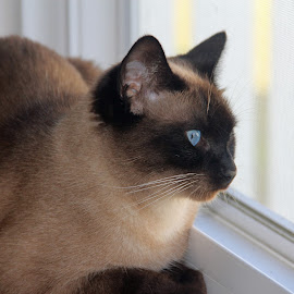Standing watch by Christine Urick - Animals - Cats Portraits ( guard cats, apple head siamese, seal point siamese, siamese )