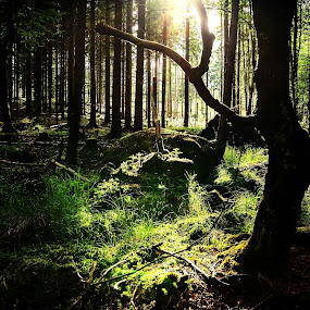 Forest Light by Björn Olsson - Nature Up Close Trees & Bushes ( green, trees, summer, forest, sun )
