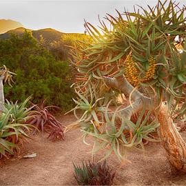 Spekboom by Maricha Knight van Heerden - Nature Up Close Trees & Bushes ( namib, spekboom, indigenous, karoo garden )