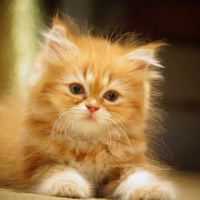 Kitten by Tawfik Dajani - Animals - Cats Kittens