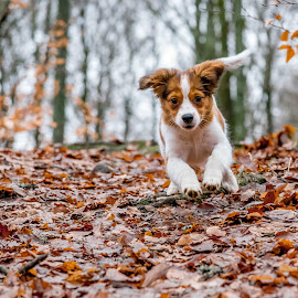 Tosca by Colin Harley - Animals - Dogs Running ( tosca, d750, happy, pup, nikkor, puppy, dog, nikon, kooikerhondje )