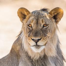 the smirk by Rian Van Schalkwyk - Animals Lions, Tigers & Big Cats ( predator, lion, kalahari, namibia )