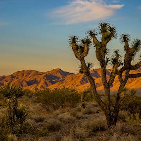 Joshua Tree by Clement Stevens - Landscapes Sunsets & Sunrises ( sky, mountain, desert, sunset, joshua tree,  )