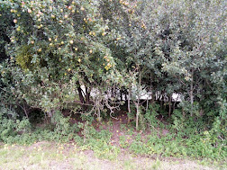 Photo 2 / 2 - Feral-Orchard Scrub - banks of R.Severn, Broadway Farm, Gloucestershire