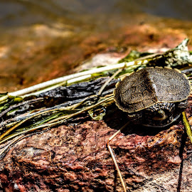 Fresh water turtle 🐢 by T Wells - Animals Reptiles