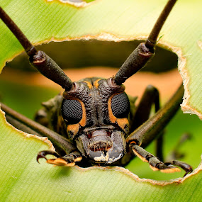 Long Horn Beetle by Oren Kaler - Animals Insects & Spiders ( macro, nature )