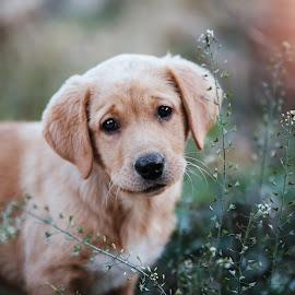labrador cuteness by Krisztina Fejér - Animals - Dogs Puppies ( lovely, puppy, dog, cute, animal,  )