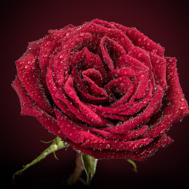 ON THE OCCASION OF ROSE DAY by Rakesh Syal - Flowers Single Flower (  )