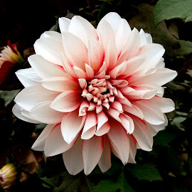 Dahlia  by Asif Bora - Instagram & Mobile Other (  )