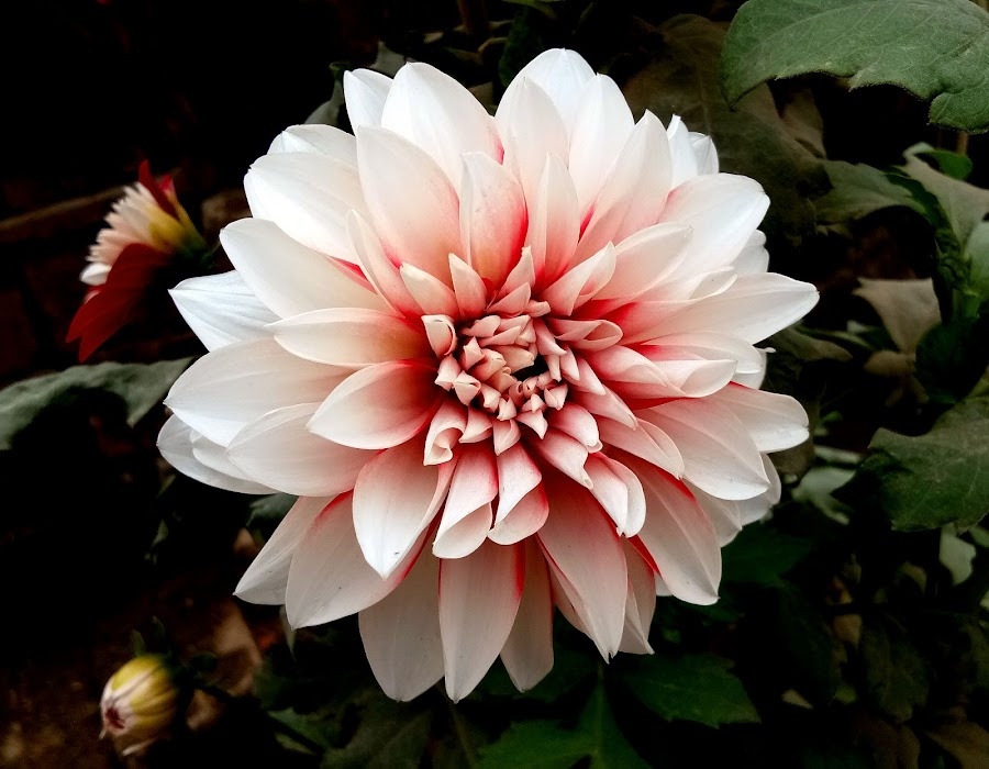 Dahlia  by Asif Bora - Instagram & Mobile Other