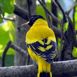 Oriole by Asif Bora - Animals Birds