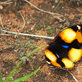 Desert Butterfly by Ingrid Anderson-Riley - Animals Insects & Spiders