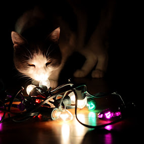 Cat's Curiosity by Cassidy Meade - Public Holidays Christmas ( lights, cats, cat, colorful, pet, pets, christmas, pets.holiday )