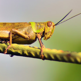 a grasshopper by Gunarsa Gunarsa - Animals Insects & Spiders ( macro, nature, insect, grasshopper )