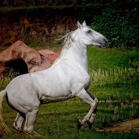 Arabian Horse by Cristobal Garciaferro Rubio - Animals Horses ( horses, arabian horse, horse, arabian, white horse )