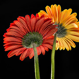 by Rakesh Syal - Flowers Flower Arangements (  )