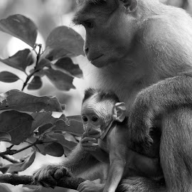 Bonnet macaque by Saumitra Shukla - Black & White Animals ( primate, monkey, animal, travel, wild, wildlife )