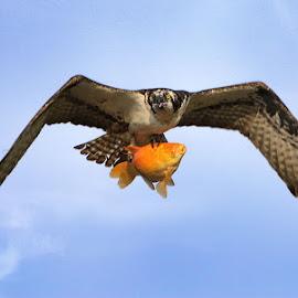 Dinner! by Sue Connor - Animals Birds ( bird of prey, bird, osprey, wildlife )