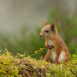 Juvenile Squirrel by Øyvind Håvarstein-Hustoft - Animals Other Mammals