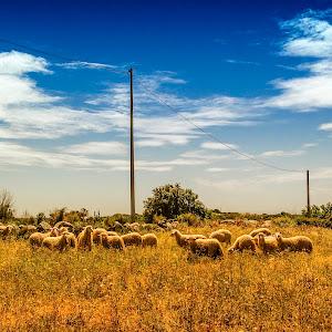 le pecore (1 di 1).jpg