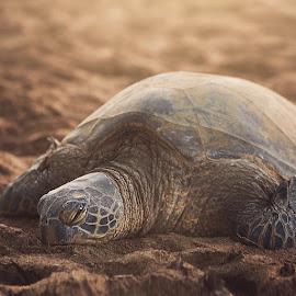 Mr. Tortoise by Aku Pöllänen - Animals Sea Creatures ( sand, tortoise, sunset, ocean, beach, hawaii )