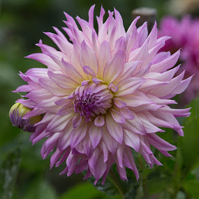 by Janet Marsh - Flowers Single Flower ( dahlias, purple and white )