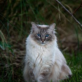 Pangur is his name O by Joseph Martinez - Animals - Cats Portraits ( nikon, cat in grass, cat portrait, cat face, nikon photos, white cat, cat, cat eyes, blue eyes )
