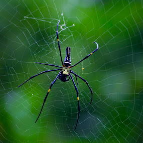 The Web builder by Vivek Chethan Muliya - Animals Insects & Spiders ( animals, spiders, webspider, insects, spiderinwork )