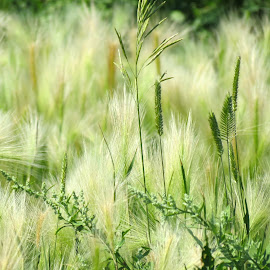 Feathery Grass by Rita Goebert - Nature Up Close Leaves & Grasses ( south dakota; grass; feathery appearance; soft green color; june; )