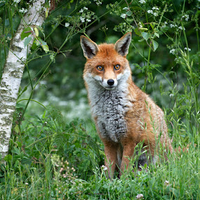 Fox by Adrian Lines - Animals Other Mammals