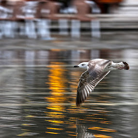 Seagull in S.Marco square by Matteo Chinellato - Animals Birds ( bird, venezia, seagull, venice )