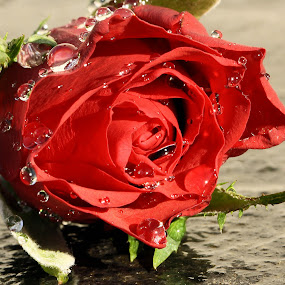 Red rose after rain.JPG