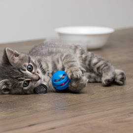 Kitten Joy Toy by Skylar Marble - Animals - Cats Playing ( kitten, cat, playful, cute kitten, furry, cute cat, cuddly, cute, cuddle, handsome, tabby, friend )