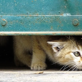 Kitten  by Asif Bora - Animals - Cats Kittens (  )