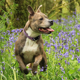 Fun in the bluebells by Tony Walker - Animals - Dogs Running ( staffy, jumping, pet, dog, cornwall, bluebells )