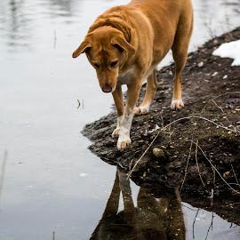 focused by Suzana Svečnjak - Animals - Dogs Playing