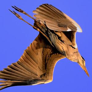 Nov 26 flying heron.jpg