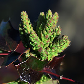 Budding Holly by Nikki Loehmer - Nature Up Close Trees & Bushes