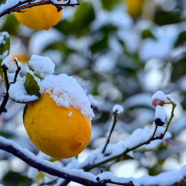 Early snow by Haim Rosenfeld - Nature Up Close Trees & Bushes ( home, colorful, subject, leaf, yellow, israel, middle, sun, phenomenon, circles, tree, snow, unusual, east, light, snow on trees, orange, fruit, green, colors, image, photo, nazareth, illit, garden, early, golden )