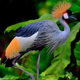 A grey crowned crane doing the march of the black queen. by Francois Wolfaardt - Animals Birds (  )