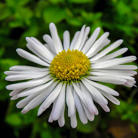 by Slavko Marcac - Flowers Flower Gardens