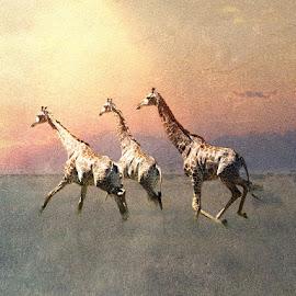 Band on the Run by Bjørn Borge-Lunde - Digital Art Animals ( wild animal, wilderness, animals, nature, giraffe, sunset, wildlife, africa )