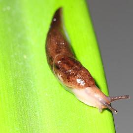 Slug on a leaf by Ty Williams - Animals Other ( macro, slimy, slug, leaf, canon 7d, eyes )