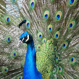 Peacock 2 by Heather Clark - Animals Birds ( feargers, colourful, blue, peacock )