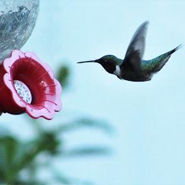 Coming in for a drink by Paula Warren - Animals Birds ( hummingbird, feeder )