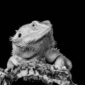 Beardie by Garry Chisholm - Black & White Animals ( bearded dragon, macro, reptile, lizard, garry chisholm )
