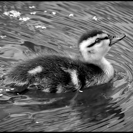 Duckling by Dave Lipchen - Black & White Animals ( duckling )