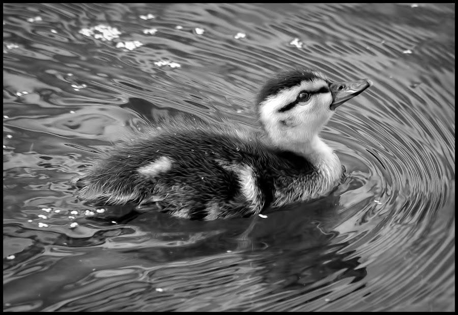 Duckling by Dave Lipchen - Black & White Animals ( duckling )
